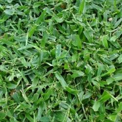 crabgrass