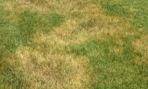 dollar spot in lawn
