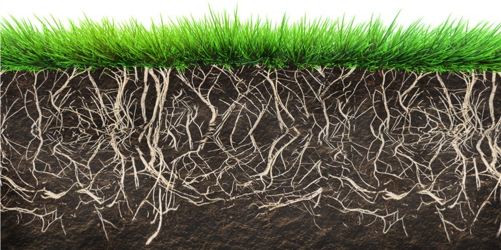 grass with healthy roots